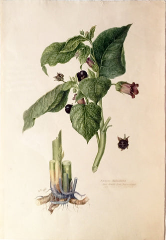Edward Forster, the Younger (British, 1765-1849), Atropa belladonna