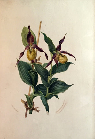 Edward Forster, the Younger (British, 1765-1849), Cypripedium calceolus