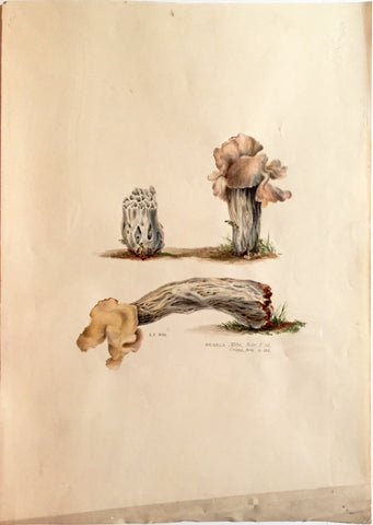 Edward Forster, the Younger (British, 1765-1849), Helvella Mitra