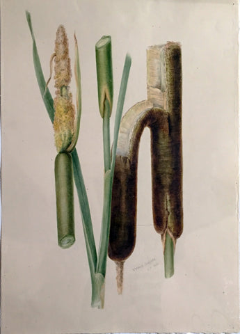 Edward Forster, the Younger (British, 1765-1849), Typha Latifolia