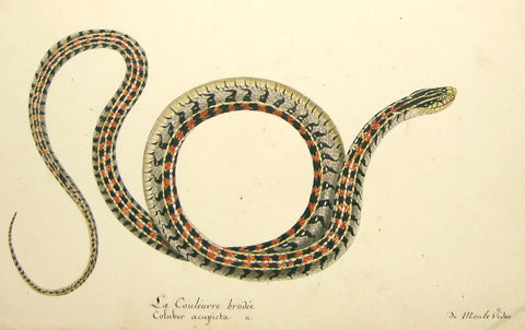 Christophe Paulin de la Poix de Fremenville (1747-1848), La Couleuvre Brodee Coluber Acupicta de monte video (Striped Snake)
