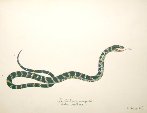 Christophe Paulin de la Poix de Fremenville (1747-1848), 22. La Couleuvre Marquetee Coluber Tessellata de Monte Video (Tessellated Snake of Monte Video)