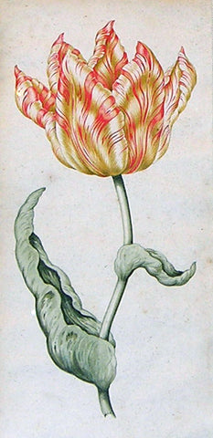 French School, Anonymous, Tulip Study