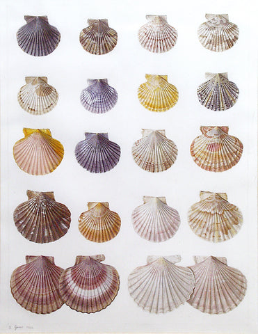 Jean Gautier (French, 19th-century) Shell Study II