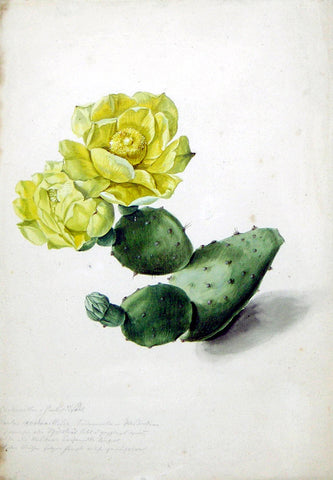German School, 18th-century, Cactus Cochenillifera in Bloom