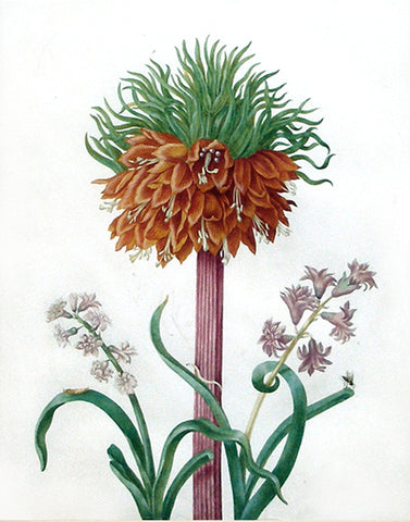 Johanna Helena Graffe (German, 1668-1723), Study of a Fritillaria Imperialis [Crown Imperial]