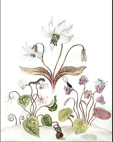 Johanna Helena Graffe (German, 1668-1723), Study of a lily and two cyclamen, with a caterpillar, a chyrsallis and a moth