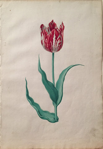 Pieter Holsteyn The Younger (Dutch, 1614-1687), Tulip Study 11