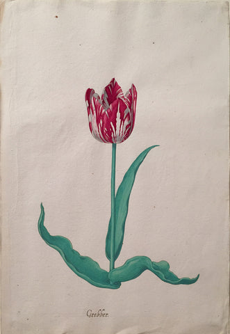 Pieter Holsteyn The Younger (Dutch, 1614-1687), Tulip Study 12