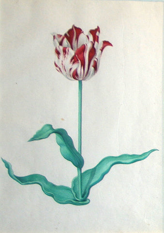 Pieter Holsteyn The Younger (Dutch, 1614-1687), Tulip Study 4