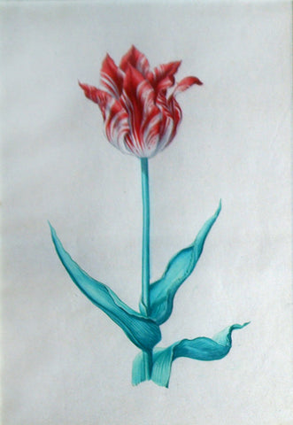 Pieter Holsteyn The Younger (Dutch, 1614-1687), Tulip Study 6