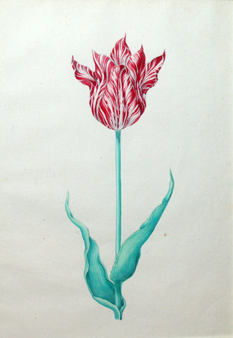 Pieter Holsteyn The Younger (Dutch, 1614-1687), Tulip Study 7
