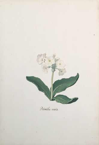 Pieter Holsteyn The Younger (Dutch, 1614-1687), White Primula Veris