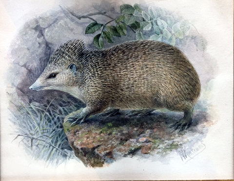 Johannes Gerardus Keulemans (Dutch, 1842-1912) The Tail-less Tenrec (Centetes ecaudatus)