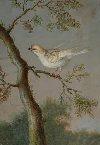 Ernst Friedrich Carl Lang, (German, 1748-1782), A Eurasian Tree Sparrow or Snow Bunting in Winter Plumage