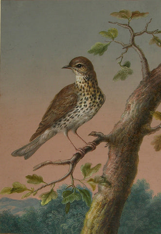 Ernst Friedrich Carl Lang, (German, 1748-1782), A Song Thrush or Mistle Thrush