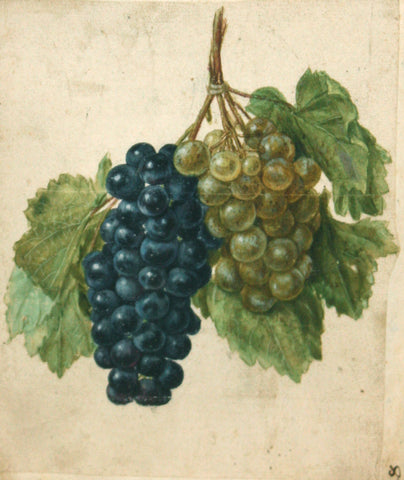 Jacques le Moyne de Morgues (French, ca. 1533-1588), A Double Vine of Purple and Green Grapes