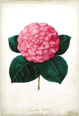Bernard Leon (Active Nineteenth Century), Study for the chromolithograph of Camellia Hallei...