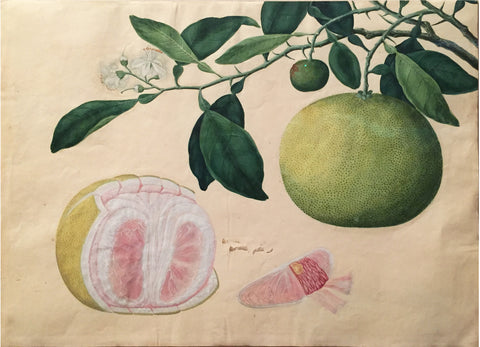 MALAYSIAN OR INDIAN SCHOOL (19TH-CENTURY), Grapefruit