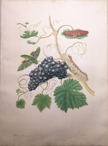 Maria Sibylla Merian (German, 1647-1717), Plate 34. American Grapes and Green Hawkmoth