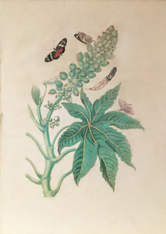 Maria Sibylla Merian (German, 1647-1717), Plate 30. Castor-oil Plant, Ricinis Butterfly, Unidentifiable Caterpillar and Greater Sacktail