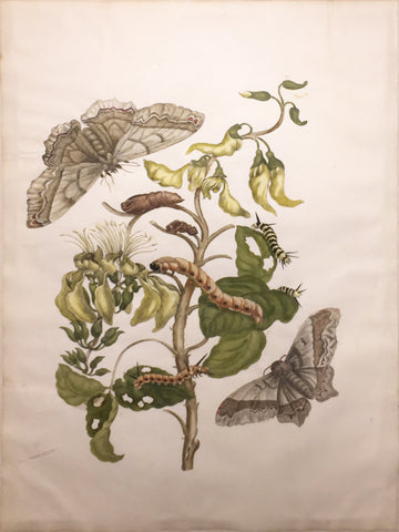 Maria Sibylla Merian (German, 1647-1717), Plate 11.  Coral Bean Tree and Emperor.