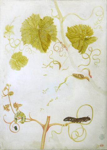 Maria Sibylla Merian (German, 1647-1717), Study of a vine, caterpillars and pupae