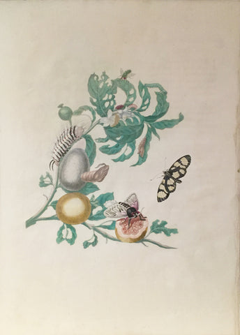 Maria Sibylla Merian (German, 1647-1717), Plate 19. The Baccoves and Fruiting Guava Tree