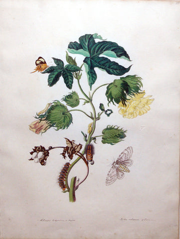 Maria Sibylla Merian (German, 1647-1717), Plate 10. The Cotton Plant [The butterfly is possibly Parides lysander]