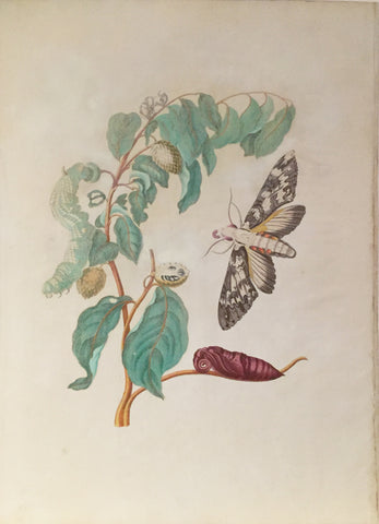 Maria Sibylla Merian (German, 1647-1717), Plate 3. The Eureal