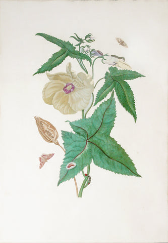 Maria Sibylla Merian (German, 1647-1717), Plate 42. The Hibiscus
