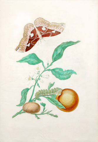 Maria Sibylla Merian (German, 1647-1717), Plate 52. The Orange Tree and the Giant Silkworm