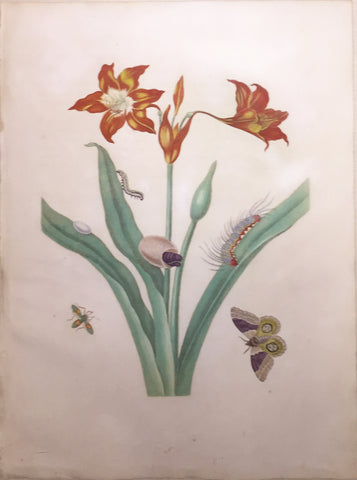 Maria Sibylla Merian (German, 1647-1717), Plate 22. The Red Lily.  Lilium americanum with Automeris liberia