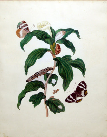 Maria Sibylla Merian (German, 1647-1717), Plate 36. The Two Lepidopters of Castnia (Castnia evalthoides) on a Tobacco Plant