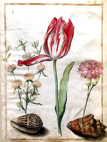 Maria Sibylla Merian (German, 1647-1717), Study of a tulip, carnation and two shells