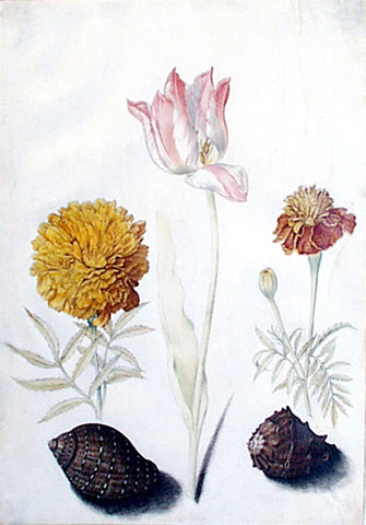Maria Sibylla Merian (German, 1647-1717), Study of a tulip, two carnations and two shells