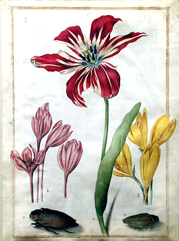 Maria Sibylla Merian (German, 1647-1717), Study of a tulip, two crocus and two insects