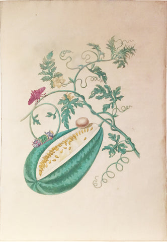 Maria Sibylla Merian (German, 1647-1717), Plate 15. The Watermelon