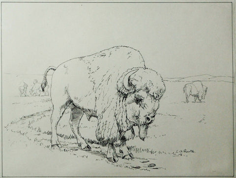 Louis Agassiz Fuertes (1874-1927), Drawing of a Buffalo