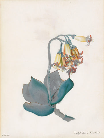 Peter Brown (British, Fl. 1758-1799), Study of red-edged pig's ear, cotyledon orbiculata