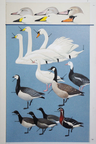 Roger Tory Peterson (1908-1996), Swans, Geese