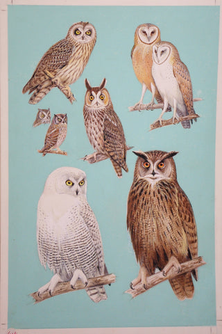Roger Tory Peterson (1908-1996), Owls