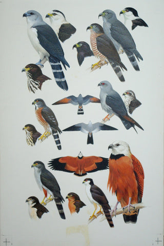Roger Tory Peterson (1908-1996), Birds of Prey, Kites