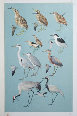 Roger Tory Peterson (1908-1996), Bitterns, Herons, Cranes