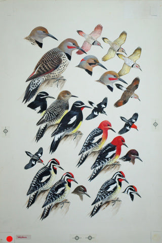 Roger Tory Peterson (1908-1996), Woodpeckers, Flickers, Sapsuckers