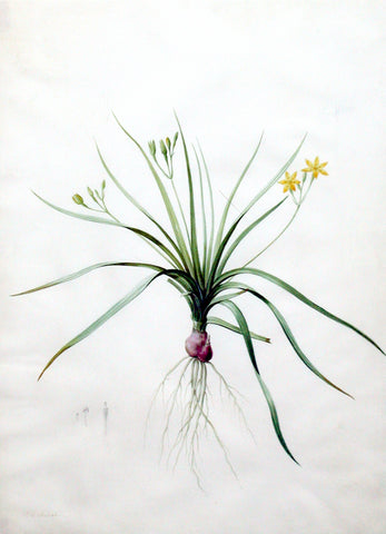 "Pierre-Joseph Redouté  (Belgian, 1759-1840), ""Hirsute Golden Winter Star-Grass"" Hypoxia erecta"