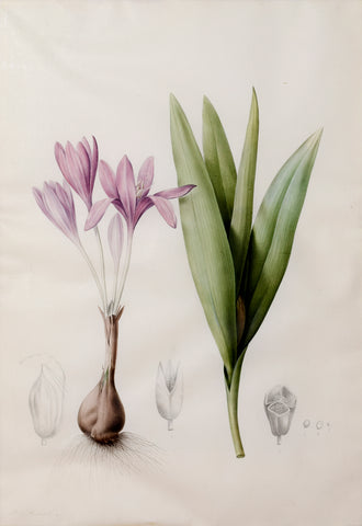 "Pierre-Joseph Redouté  (Belgian, 1759-1840), ""Colchium autumnale"" (Common Naked Ladies)"