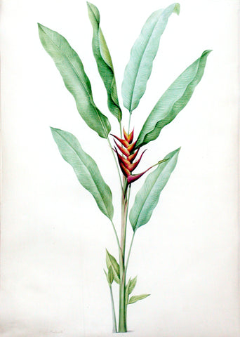"Pierre-Joseph Redouté  (Belgian, 1759-1840), ""Lobster Claw"" Heliconia humilis"