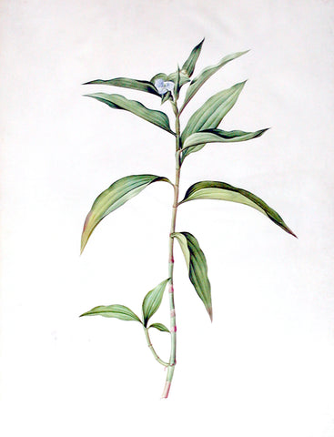 "Pierre-Joseph Redouté  (Belgian, 1759-1840), ""Willow-Weed-leaved Brownball"" Commelina persicariaefolia"