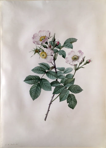 "Pierre-Joseph Redouté  (Belgian, 1759-1840), ""Rosa Stylosa"" (Rose of the Fields)"